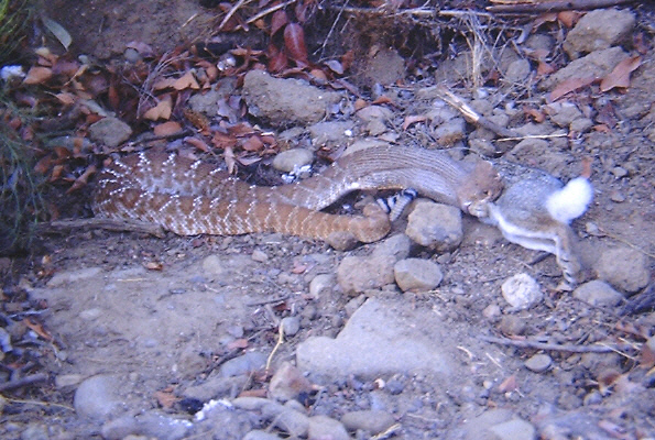 Rattlesnake eating a cottontail rabbit on Cowles Mountain fire road.